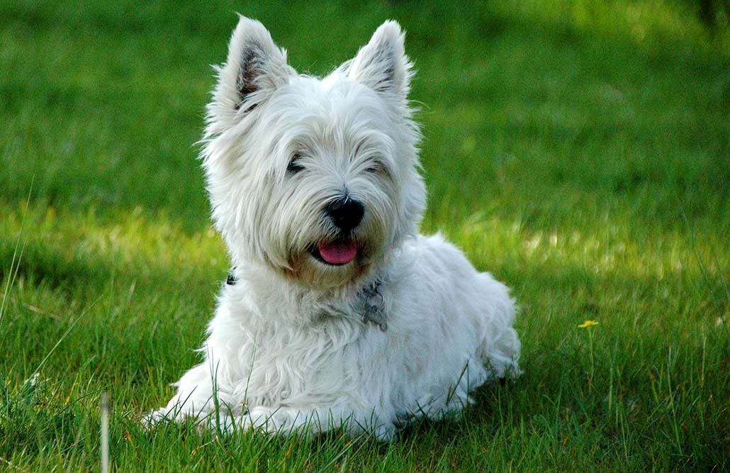west highland terrier westie