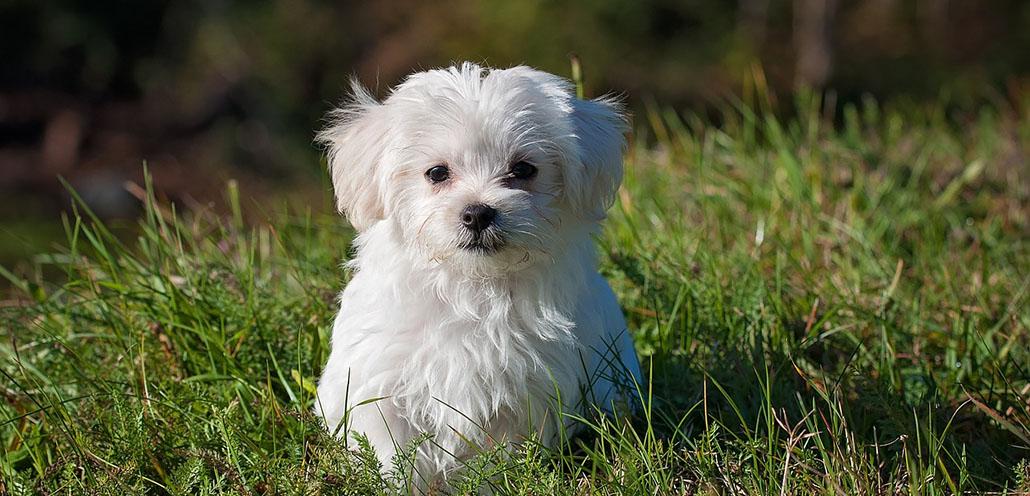 malteser hund allergiehund