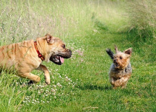 sharpei faltenhund wesen