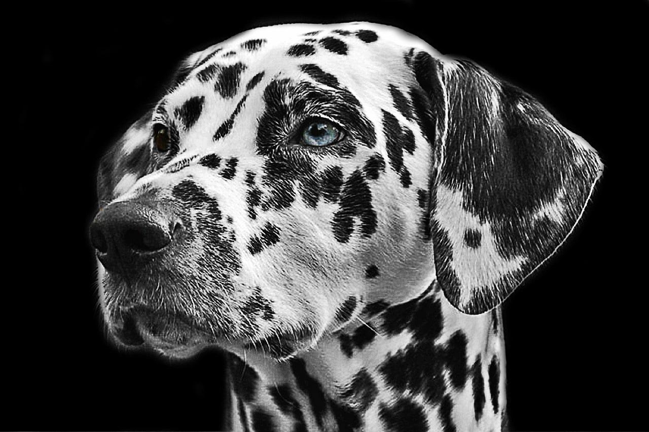 dalmatiner Portrait und Rassebschreibung