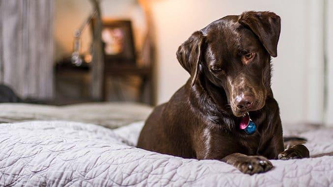 Ein Labrador Hund liegt im Bett