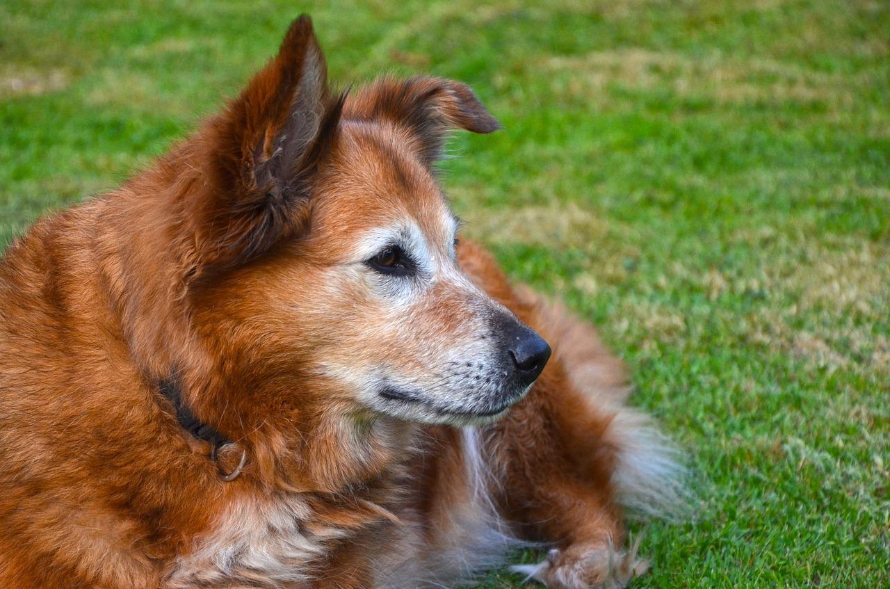 Harzer Fuchs Hundemagazin Net