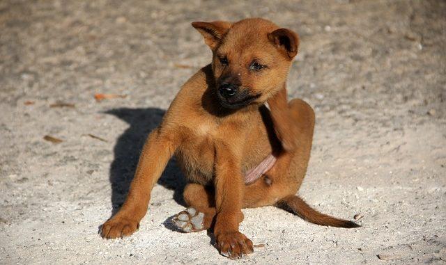 Hundefloh - Ctenocephalides canis