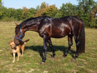 hund-pferd