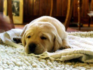erwachsener hund pinkelt wohnung