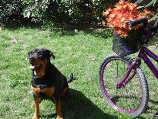 hund fahrrad