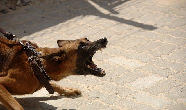 aggressiver hund zeigt einen zähnefletschenden hund
