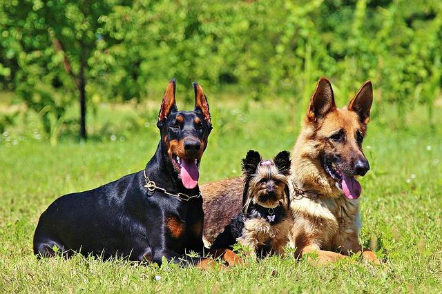 deutscher schaeferhund mit anderen hunden