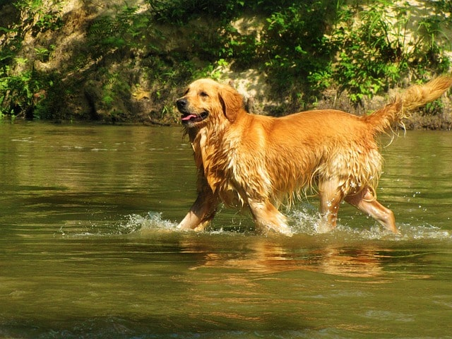 Der Golden Retriever in seinem Element: Dem Wasser
