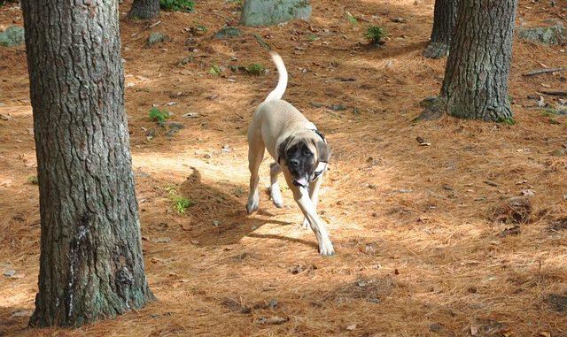 Old English Mastiff - Mastiff Rassebschreibung mit Bild