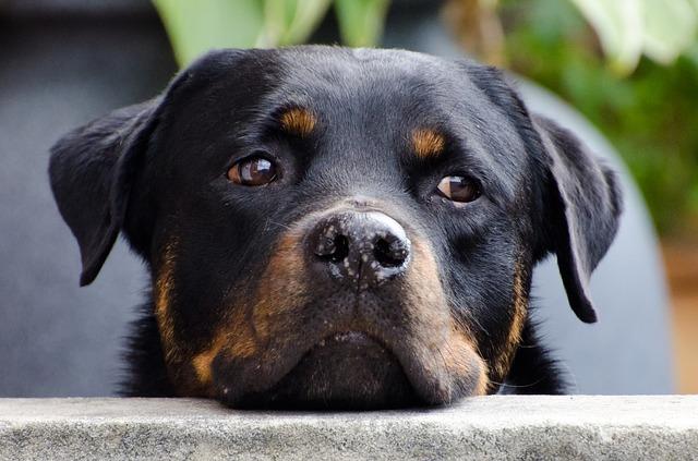 Rottweiler Rassebeschreibung mit Bild und Portrait