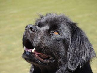 Neufundländer Hund im Portrait