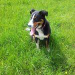 appenzeller sennenhund welpe