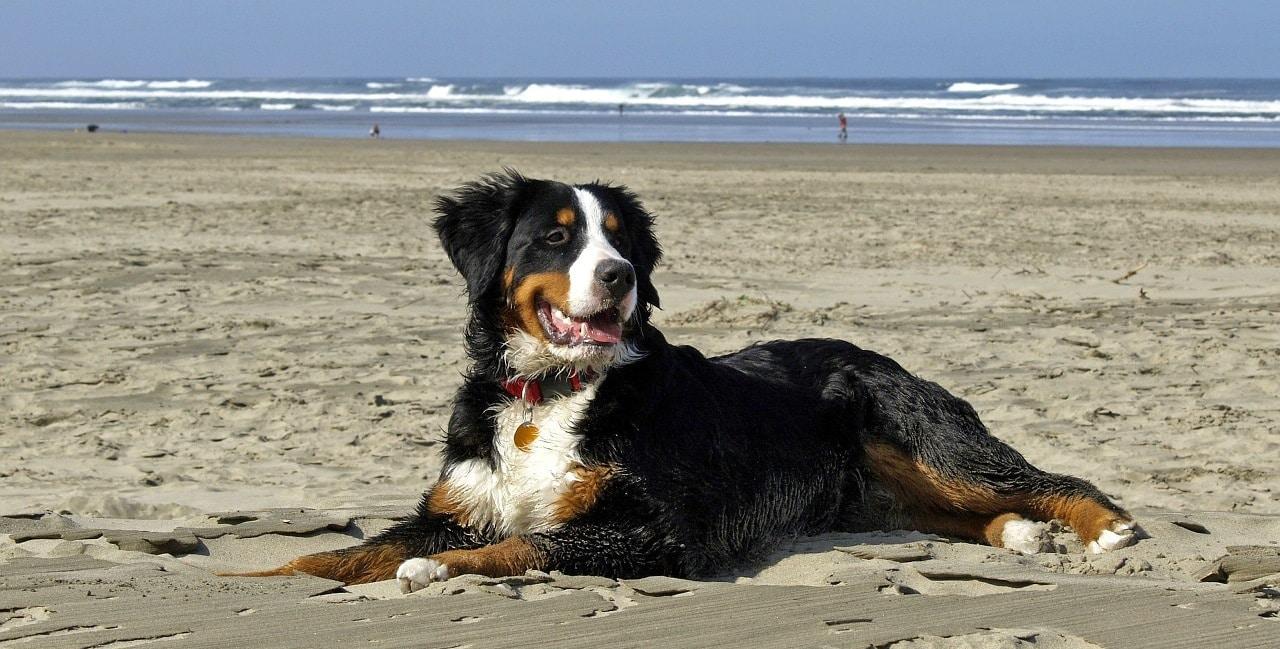 berner sennenhund ein wundervoller familienhund. Black Bedroom Furniture Sets. Home Design Ideas