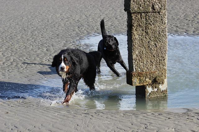 berner sennenhund andere hunde verträglichkeit