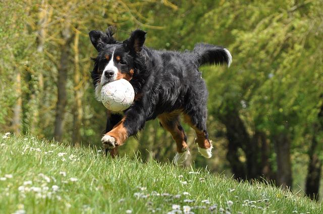 berner sennenhund bewegung sport