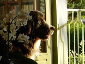 Berner Sennenhund in Not