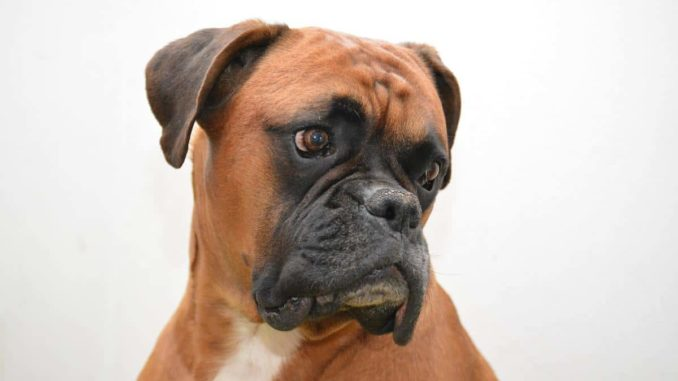 Deutscher Boxer Hund Mit Viel Power Und Herz