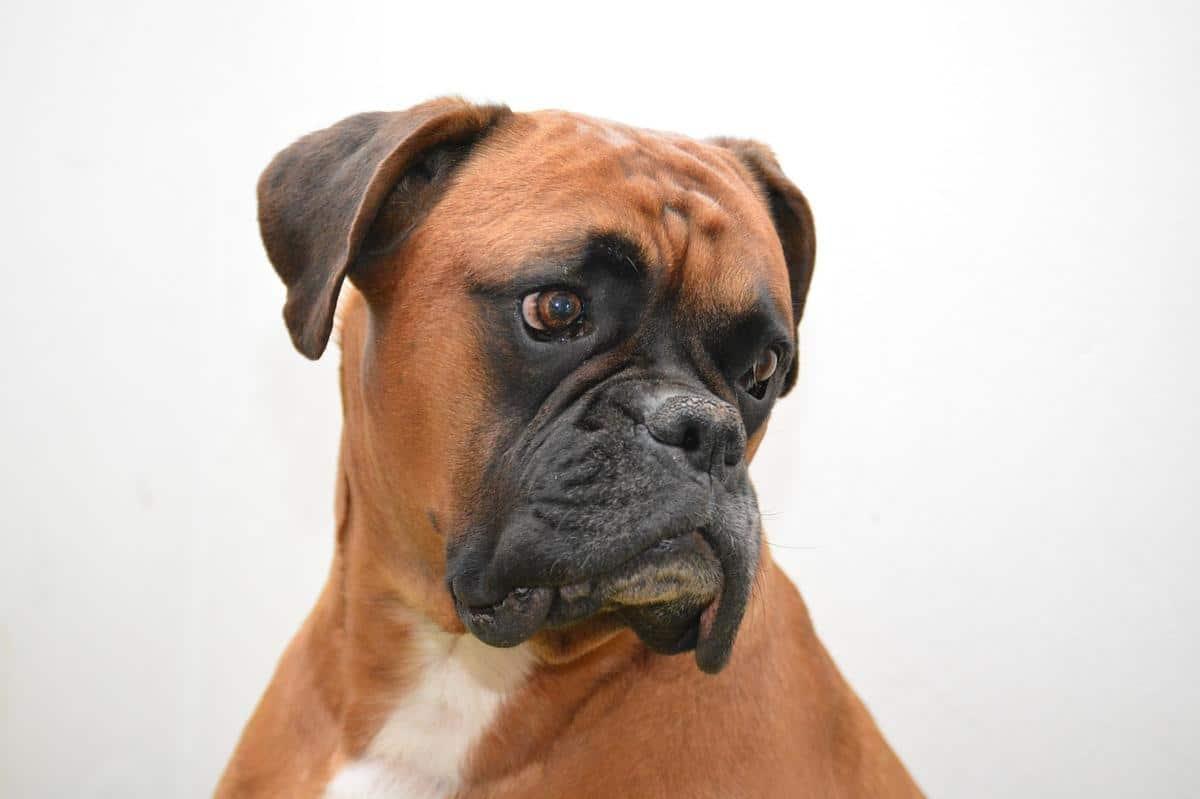 Deutscher Boxer Profilbild