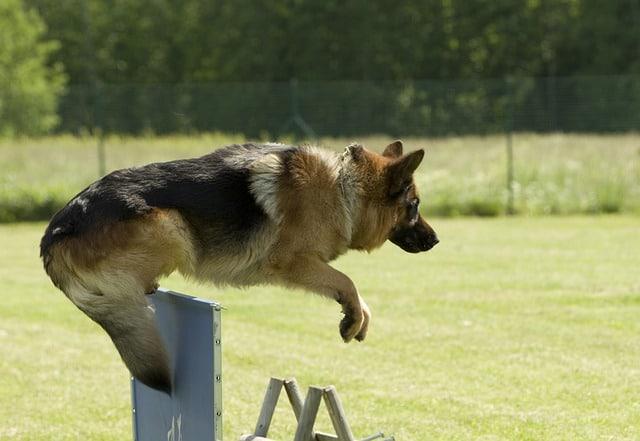Deutscher Schäferhund im Sprung - Seine Bewegungen sind schnell und elegant
