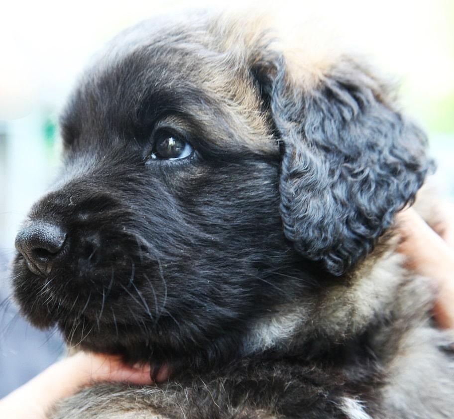 Leonberger Hund im Portrait