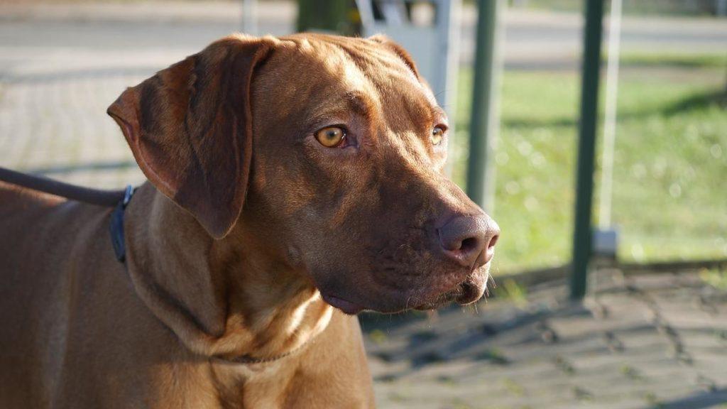Rhodesian Ridgeback Der Löwenhund Aus Afrika Rassebschreibung