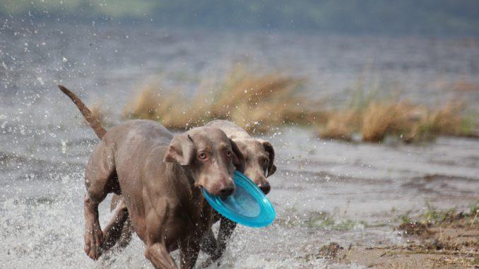 weimaraner jagdhund mit anderen hunden