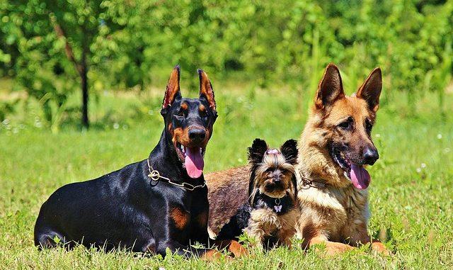 welcher hund passt zu mir - auf dem bild sind dobermann und schäferhund zu sehen