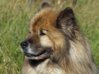 Eurasier - die alte Hunderasse