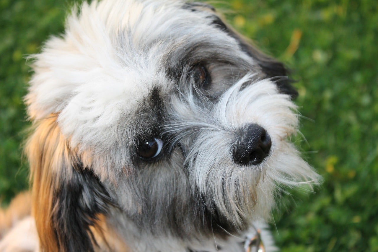 Small Dog Breeds Lhasa Apso