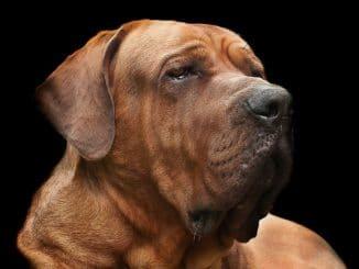 Tosa Inu Hund