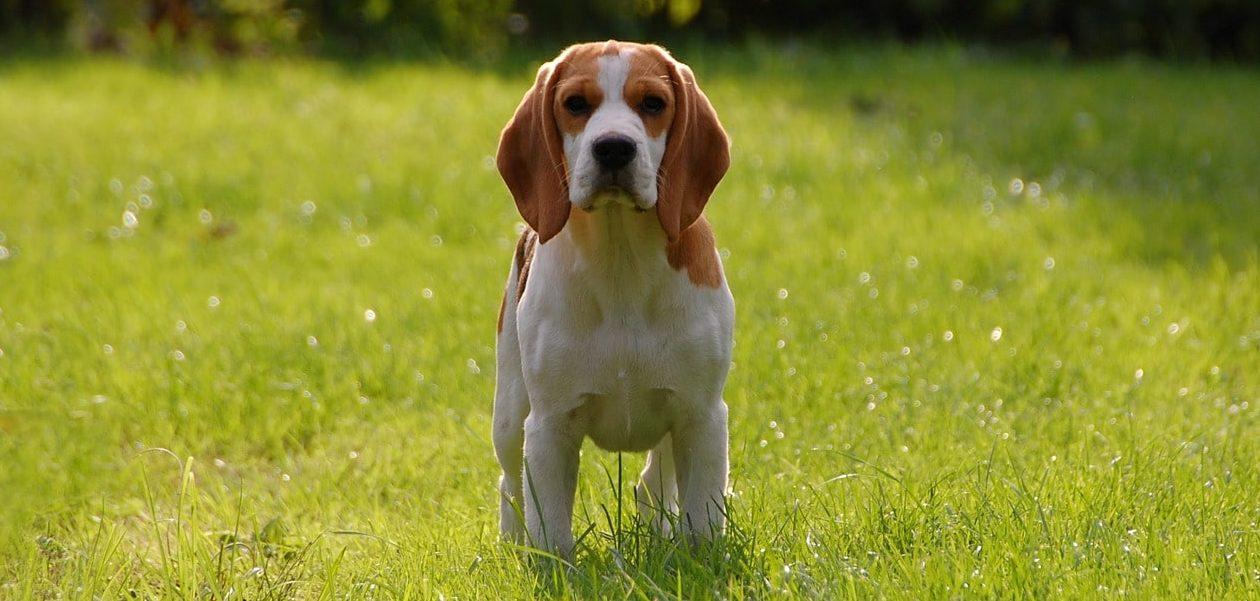 Beagle Charakter Wesen Rassebeschreibung