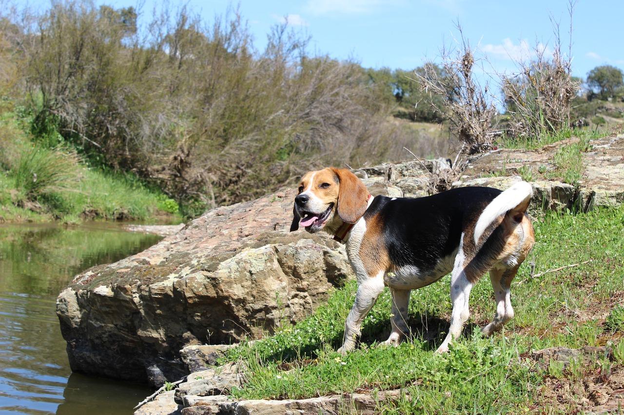 beagle jagdtrieb