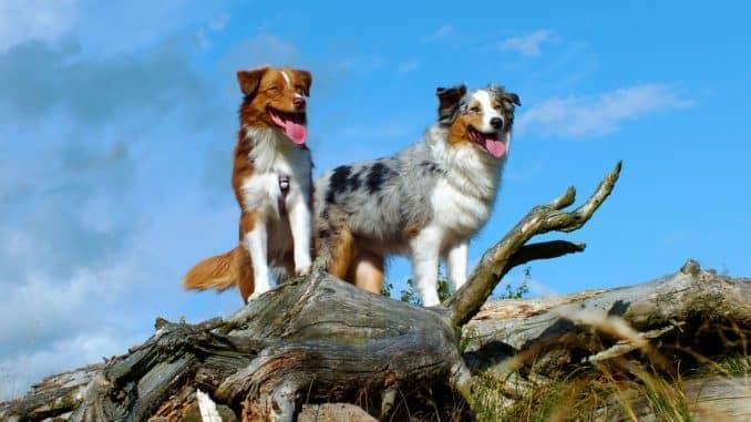 australian shepherd familienhund