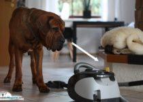 hund-an-staubsauger-gewoehnen