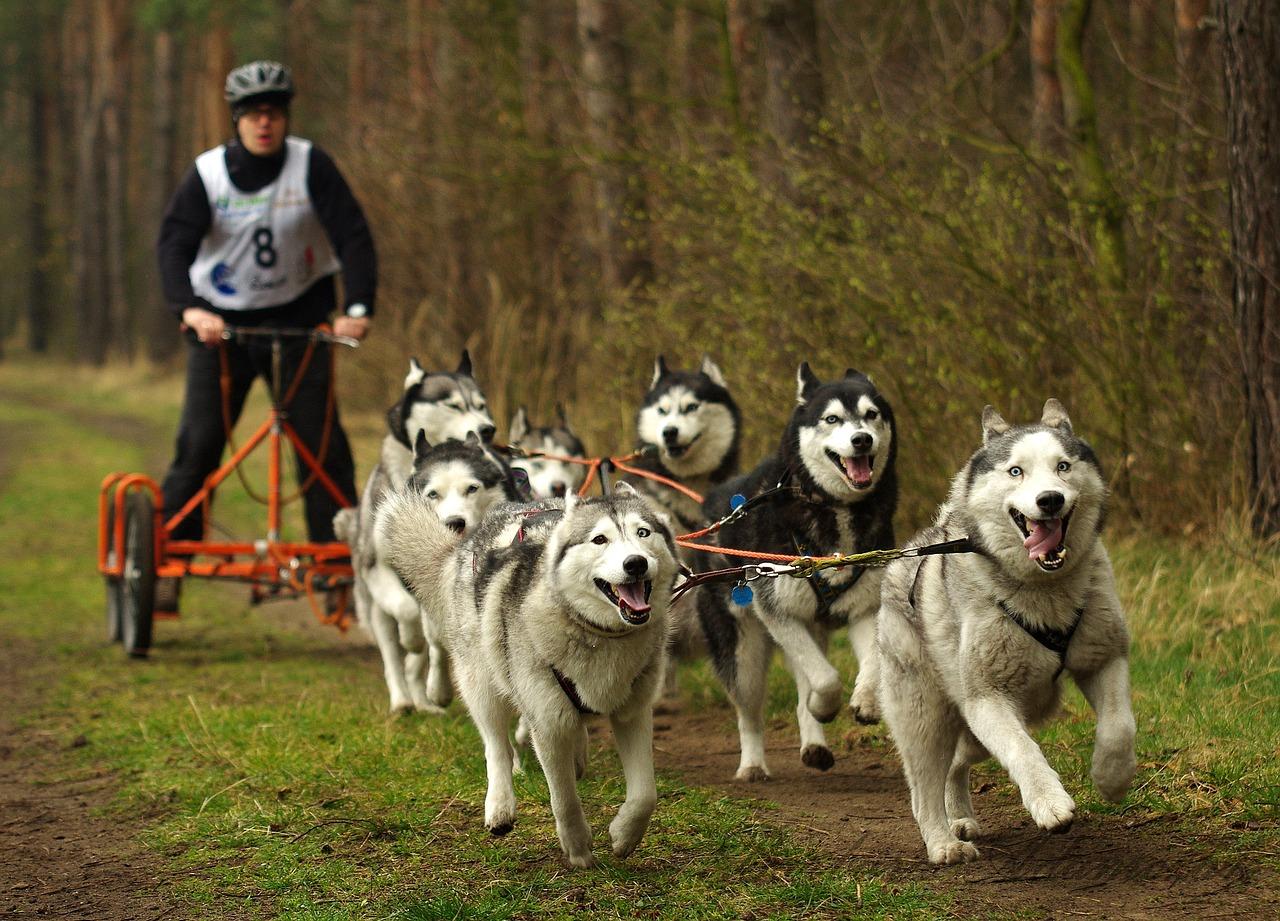 Schlittenhunde ziehen einen Hundewagen. Die Vorstufe des Dogscooting