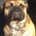 continental-bulldog-herkunft