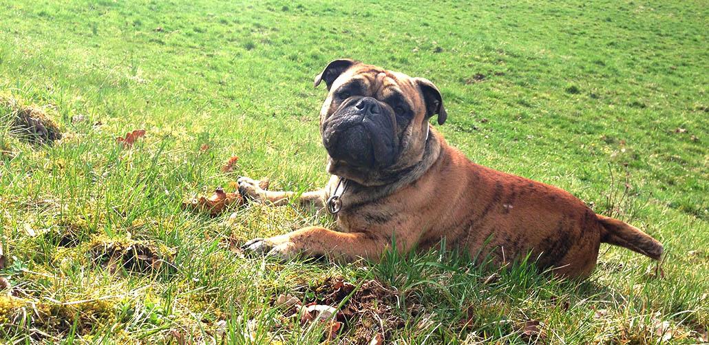 continental-bulldogg-rasseportrait
