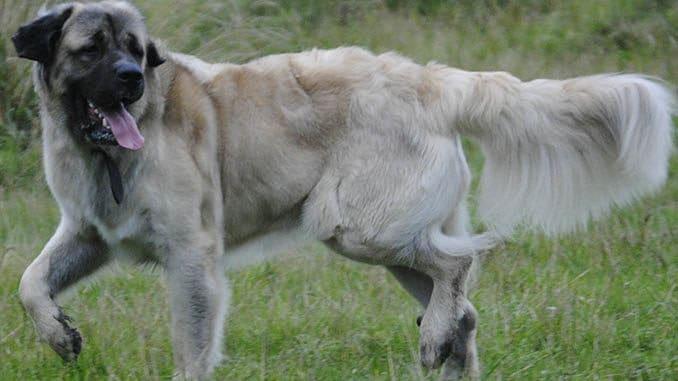 germanischer baerenhund jagdtrieb