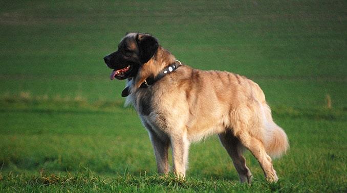 germanischer baerenhund