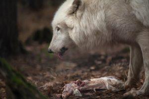 wolf hund allesfresser getreide