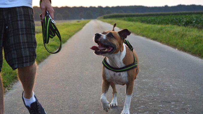 American Staffordshire Terrier Der Amstaff Im Rasseportrait Mit Bild
