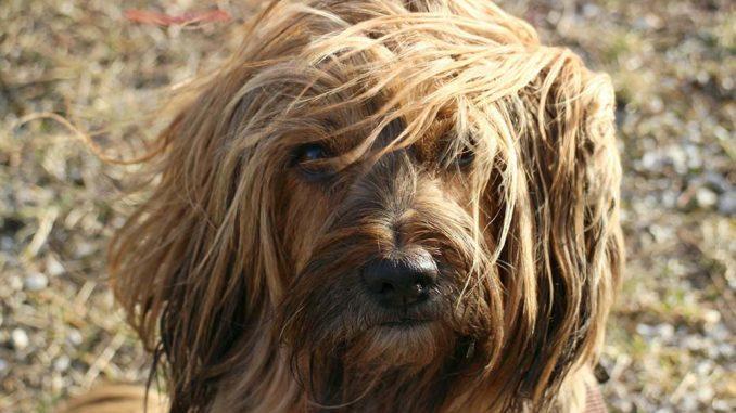 tibet terrier fell