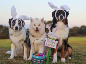 """Drei Hunde als Osterhasen verkleidet in einer Reihe auf einem Feld; vor den Hunden steht ein Osterkorb mit bunten Eiern und einem """"Happy Easter""""-Schild"""
